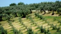 La production d'huile d'olive
