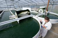 Biotechnology: the research on the production of biofuels from microalgae