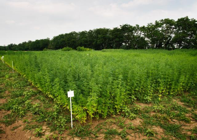 MULTIHEMP:Multipurpose crops for industrial bio products and biomass