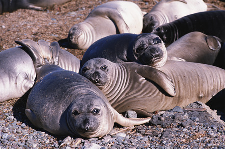 seal animal. seals Seal hunting occurs in