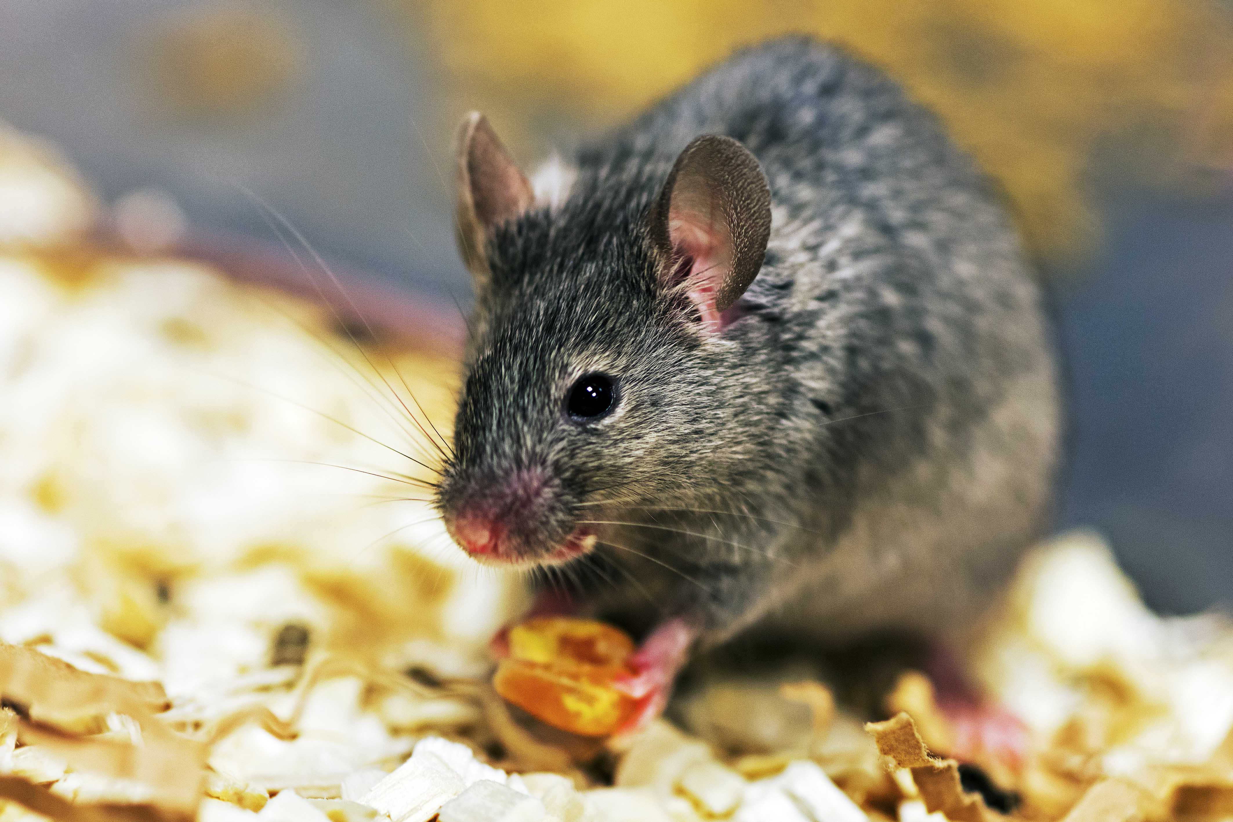 should animals be used for benefit Or c) provide results that benefit the health or welfare of humans or other animals  90% of the animals used have been rodents and birds, principally rats, mice.