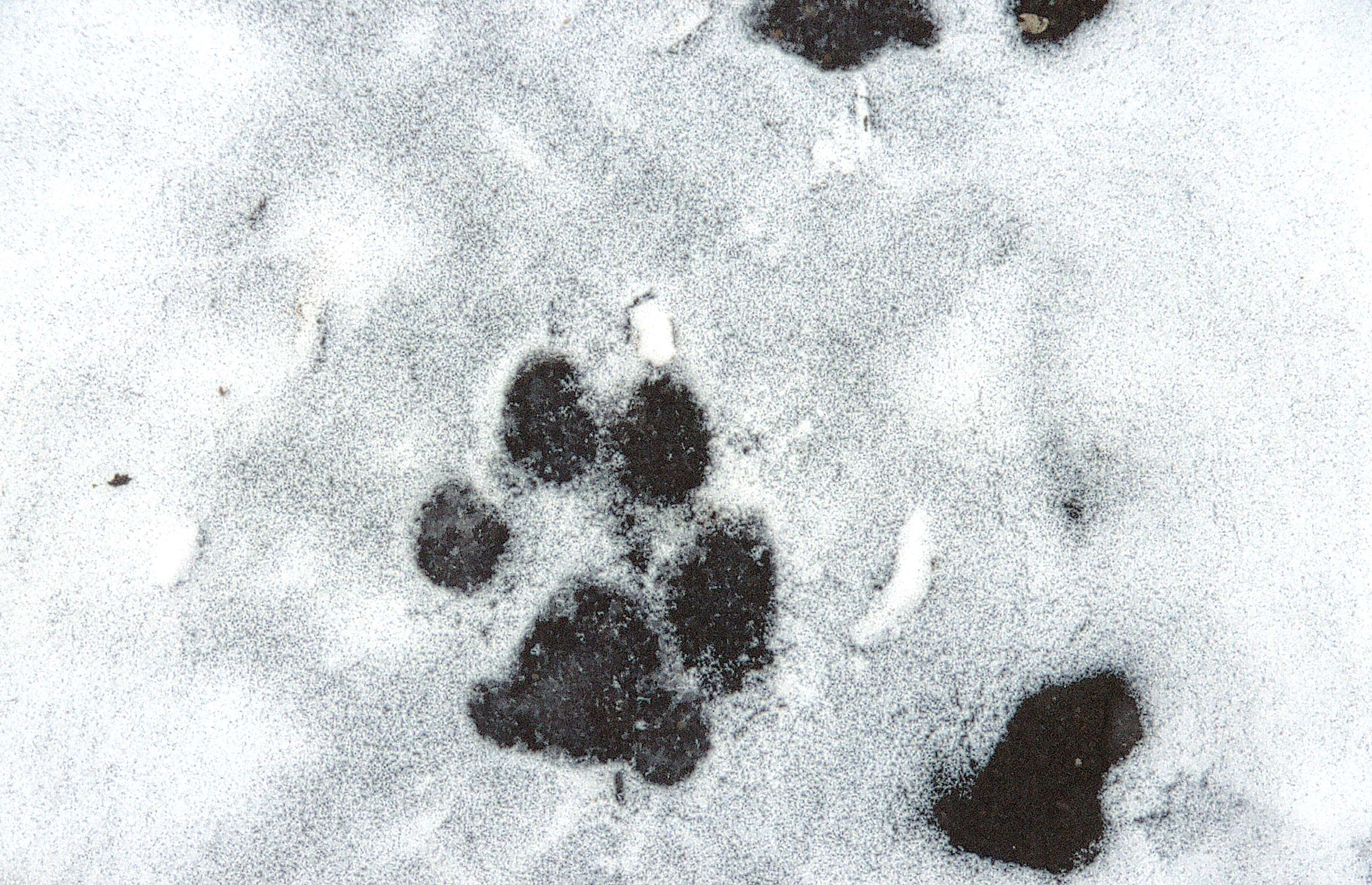 Galleries related mountain lion tracks in snow wolf tracks in snow
