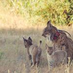 Collaboration between Public and Private Bodies saves the Iberian lynx from extinction - Spain