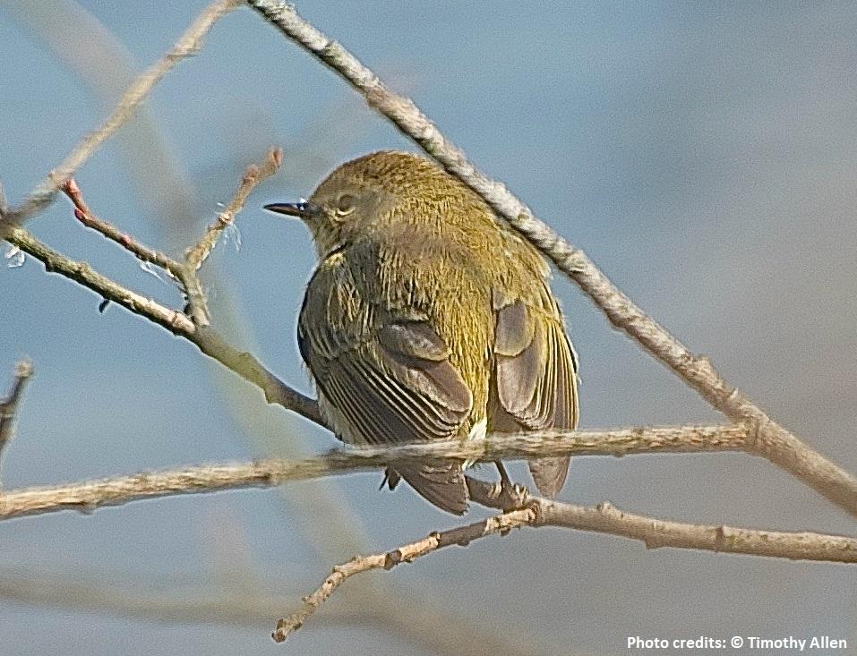 Forest bird - Chiffchaff, Phylloscopus collybita