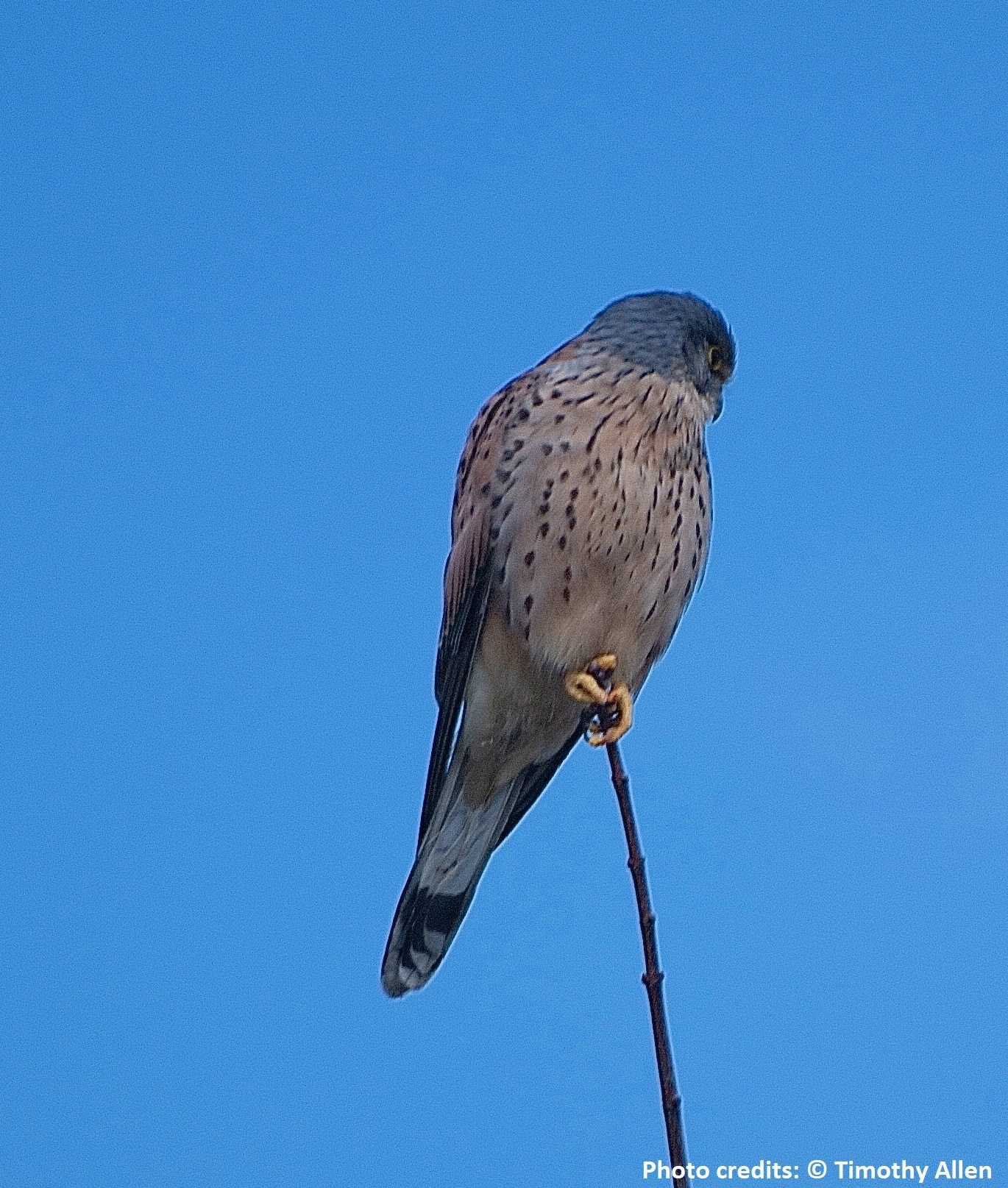 Farmland bird: Kestrel, Falco tinnunculus