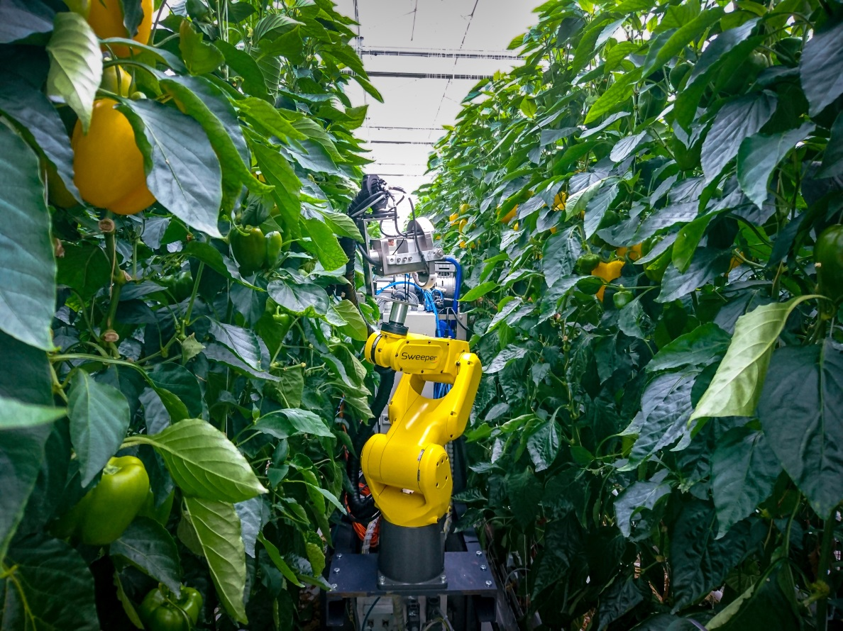 Robot between row of paprika plants