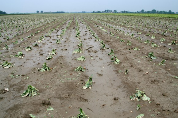 Large, damaged cabbage crop looking muddy and sad
