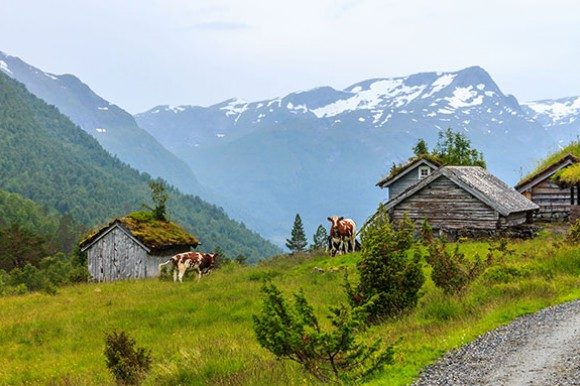 Cows standing in grass in a mountain area next to wooden sheds covered with moss