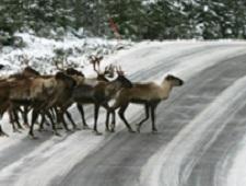 Wild forest reindeer crossing the street