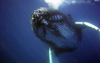 The Compass project is using a network of monitoring buoys and oceanographic monitoring stations to capture data about marine life, including whales and dolphins. ©Creative Commons