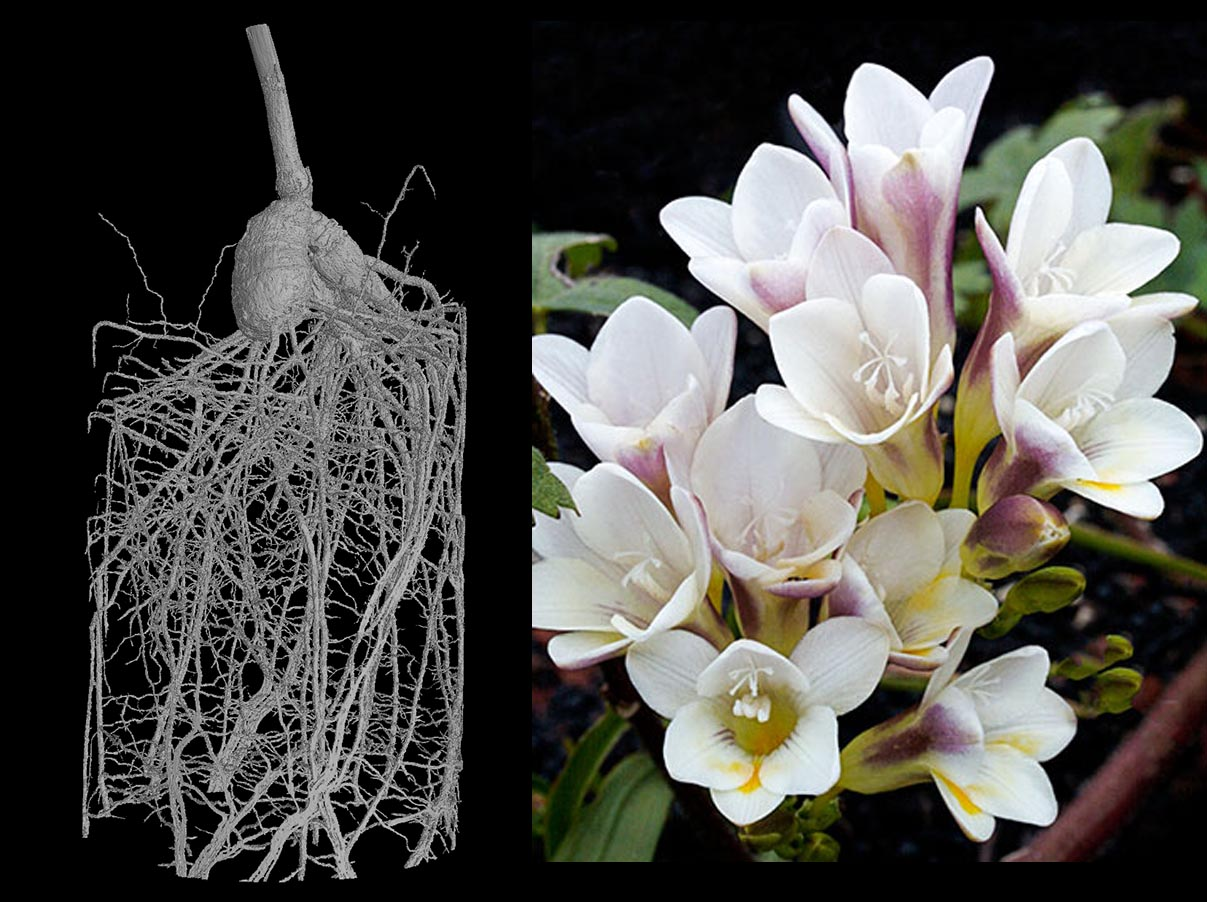 The freesia flower grows from a round underground organ known as a corm or a bulb that has developed from the stem. The corm is what helps the plant store enough food to survive in a dormant form through winter. Image credit - Brian Atkinson and Elena Regina