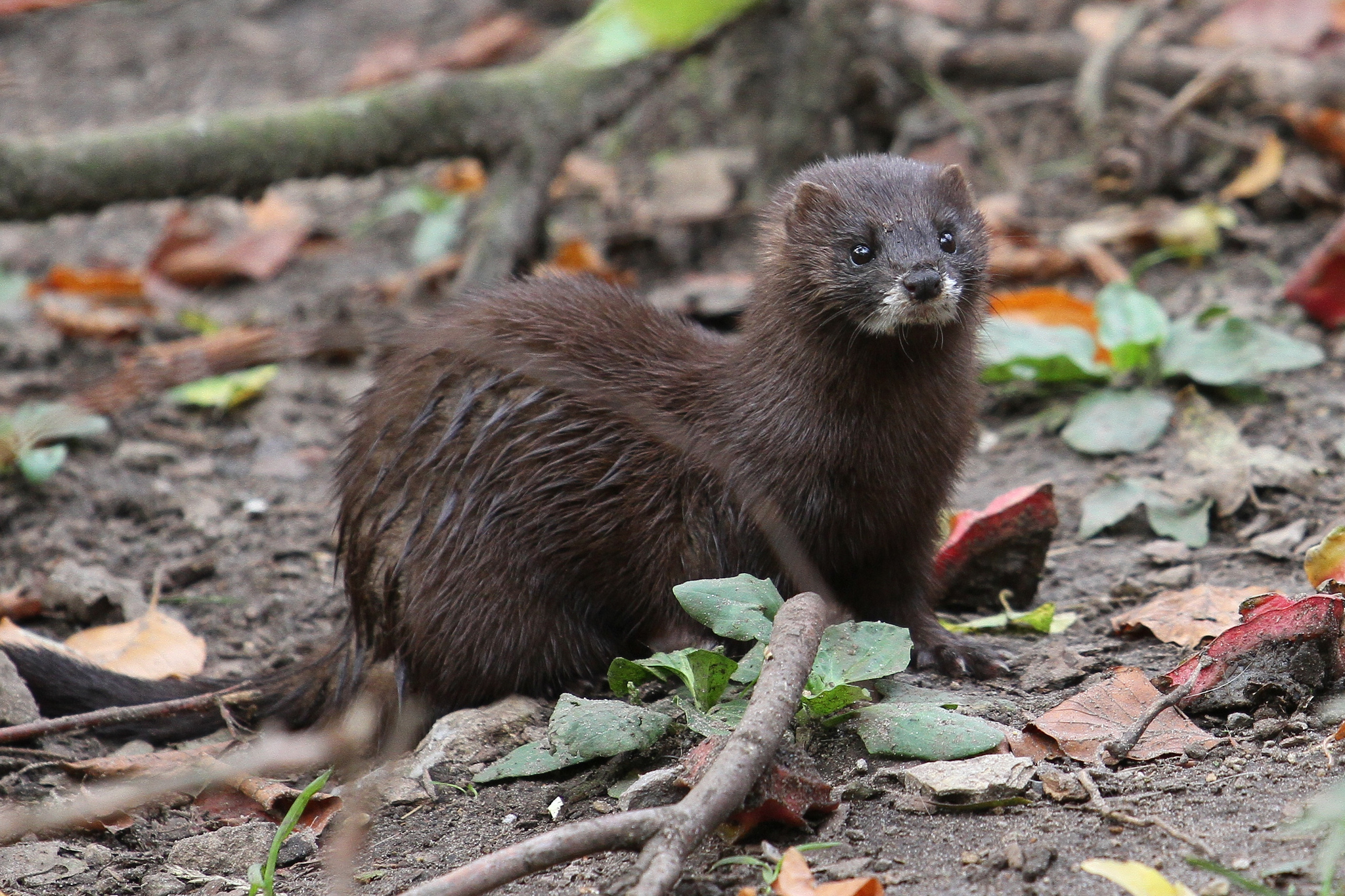 In the EU, 592 species are critically endangered. This is the last stage before a species goes extinct in the wild. Among the critically endangered is the European mink. Its population decreased steadily in the 20th century because of widespread hunting. Threats such as the invasive American mink and a decrease in their food source, crayfish, means their number is expected to decline further. Image credit - European mink by zoofanatic CC 2.0 BY