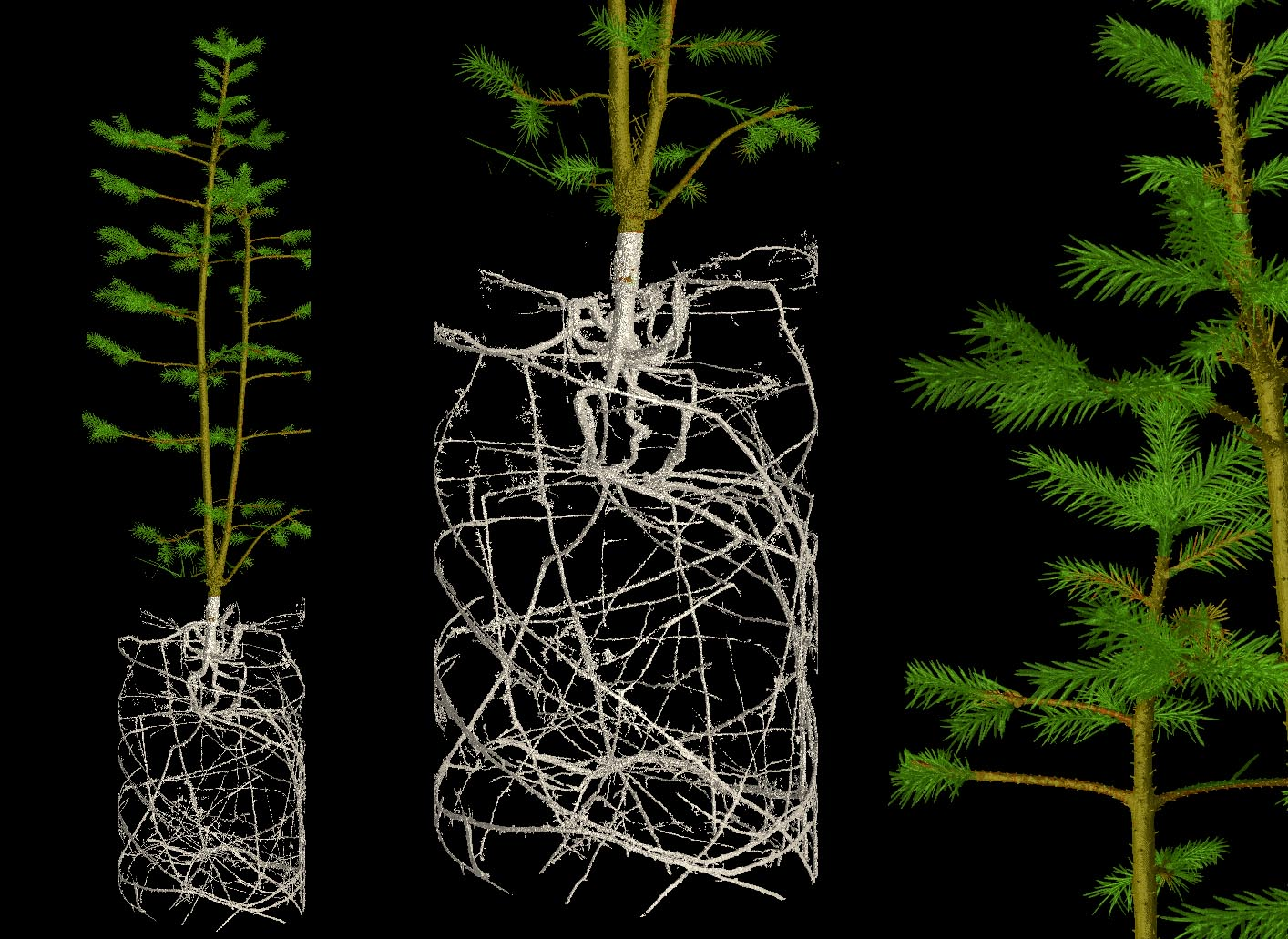 The Norway spruce, traditionally used as a Christmas tree, has evolved to survive the sub-zero temperatures of the Arctic winter. Their thin needles reduce water loss and their roots use as much space as they can. The roots of this two-year-old sapling have been limited by its pot. Image credit - Brian Atkinson