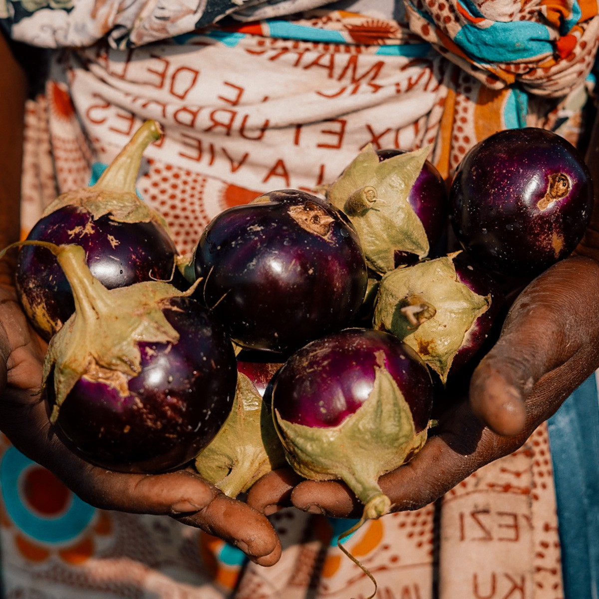 Aubergines are harvested and sold at the nearby market.