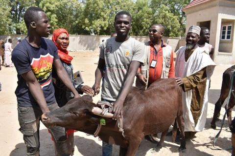 150 bulls distributed to Borno's youth to provide them with a much-needed source of income and prevent radicalization